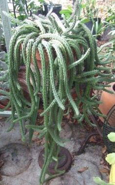 Rat Tail Cactus Long Trailing Pendulous by treasureislandlady, $4.95