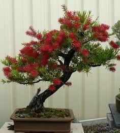 ~ Callistemon Bonsai ... Splendid!! ~ Looks like a Pohutakawa tree from New Zealand