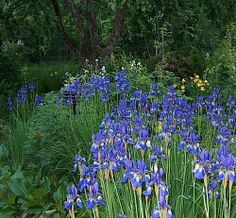 EI OLE NIIN PAAHDESUOSIKKI MUTTA SINNEPÄIN. Siperiankurjenmiekka Iris sibirica. Se kukkii parhaiten valoisalla ja hikevällä kasvupaikalla.Korkeus: 50–90 cm. Kasvutapa: tiheä ja nopeasti laajeneva lehtimätäs. Lehdet: pystyt, miekkamaiset lehdet ovat vain sentin levyiset. Kukinta: kesä–heinäkuu. Siniset tai valkoiset kukat avautuvat kesäkuun puolivälissä. Kasvupaikka: aurinko–puolivarjo; kasvualusta tuore–kostea, keskiravinteinen, humuspitoinen. Taimiväli: 35 cm.