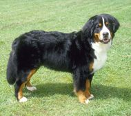 Farm Dog Breeds - Bernese Mountain Dogs are intelligent and easy to train, making them good choices for dairy cattle drivers or watchdogs. Horse Stables, Horse Farms, Mountain Dog Breeds, Farm Animals, Cute Animals, Farm Dogs, Great Pyrenees, Horse Trailers, Bernese Mountain
