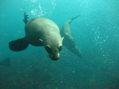 When diving with seals in Cape Town we often hear that people find the seals very cute. There large eyes and clumsy demeanor outside the water often makes people think of them as puppies.
