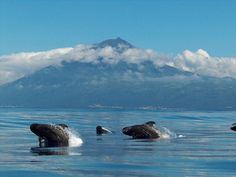 Whales @ Azores - Portugal