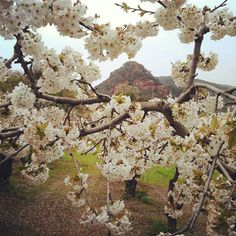 Els cirerers amb flor