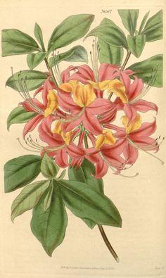 Rhododendron nudiflorum. Curtis's botanical magazine v.65 [new ser.:v.12] (1838-1839) London ;New York [etc.] :Academic Press [etc.] Biodiversitylibrary. Biodivlibrary. BHL. Biodiversity Heritage Library