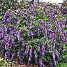 Summer lilac 'Wisteria Lane®', 1 plant The Effective Pictures We Offer You About Garden Types A qual Garden Shrubs, Landscaping Plants, Herb Garden, Garden Plants, Rustic Landscaping, Landscaping Edging, Garden Types, Buddleja Davidii, Gardening