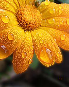 Yellow marigold