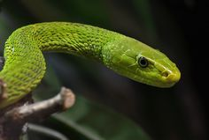 Rainforest++snakes | ... Mamba—One Of The Deadliest African Rain Forest Snakes. Photo:Orest