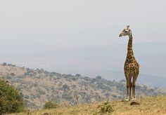Ruanda Gruppenreisen - deutsch geführte Kleingruppenreisen nach Ruanda. Ruanda Gorilla Reisen und Gorilla Safaris.