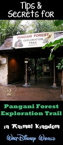 Tips and secrets for Pangani Forest Exploration Trail in Animal Kingdom. Pin now if you are planning a trip to Walt Disney World.