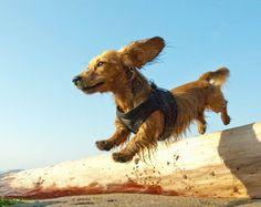 Adiestramiento canino: juguetón asalto a los visitantes | Cuidar de tu perro es facilisimo.com