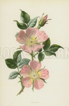 Dog-Rose. Illustration for Familiar Wild Flowers by F Edward Hulme (Cassell, c 1890).