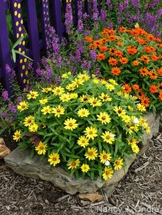 Zinnias 'Profusion Yellow' and 'Profusion Fire' with Angelonia 'Serena Purple' Aug 14 10