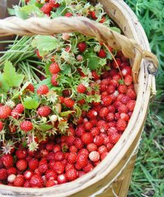 picking wild berries - they smell and tast so yummy