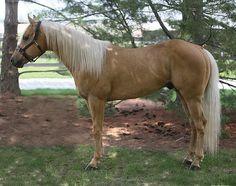 Unbullyvblyfirewater | Select Stallion Stakes Quarter Horses, Palomino, American, Animals, Animales, Animaux, Animal, Animais, American Quarter Horses