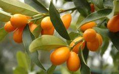 Kumquat Tree Care: Tips For Growing Kumquat Trees in Fruits, Edible Gardens Kumquat Tree, Citrus Trees, Fruit Trees, How To Grow Kumquat, Chinese Fruit, Tree Care, Tropical Fruits, Plantation, Fruits And Veggies