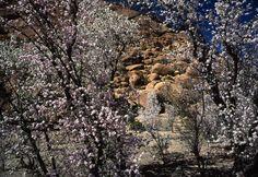 Stuart Franklin |  MOROCCO. Almond Blossom. 2000.