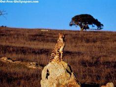 Cheetah Watching 1600X1200 Photo