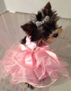 Yorkie Dogs, Yorkies, Puppies, Puppy Cuddles, Yorkshire Terriers, Little Dogs, Cuddling, Cute Cats, Jade