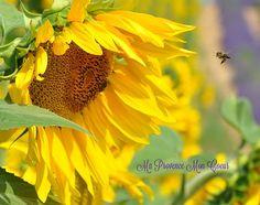 L'abeille et le tournesol