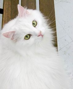 turkish cat -- [REPINNED by All Creatures Gift Shop]