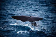 Con il caldo di questo periodo, il solo vedere quel mare e quella coda mi mette la freschezza in corpo ed anche tanta allegria. Gli animali sono splendidi quando sono nel loro ambiente naturale e nessuna battaglia sarà mai sprecata per salvarne anche uno solo. Questa foto ritrae una megattera canadese o meglio l'ho fotografata qui nell'Atlantico. Un piccolo regalo per voi :)  #fotografia, #megattere, #balene, #atlantico, #mare, #oceano, #canada, #foto, #animali, #natura, #salvareglianimali,