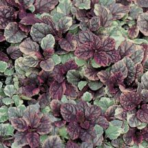 Burgundy Glow Ajuga- Variegated foliage of burgundy, creamy-white and green with blue flower spikes in spring make these ideal plants for shady areas.