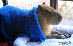 And blankets. They love blankets. | After Looking At These Photos You Will DEFINITELY Want A Capybara