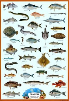 This is a picture of a marine biology poster. It shows the many different kinds of fish that can be studied. I like the aspect in marine biology of the endless number of animals that are discovered. Biology Poster, Fish Chart, Kunst Poster, Sea Photo, Bass Fishing, Sport Fishing, Fishing Tips, Fishing Worms, Fishing Games