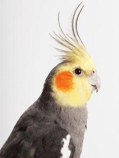 source : feedly.com  par leila jeffreys _  collection animal volatile, oiseaux à huppe, perroquet (bird)