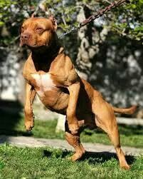 pitbull dog wallpaper http whatstrendingonline com pitbull dog