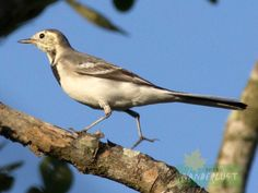 White Wagtail Sunderban Photo Credit: Nilanjan Patra