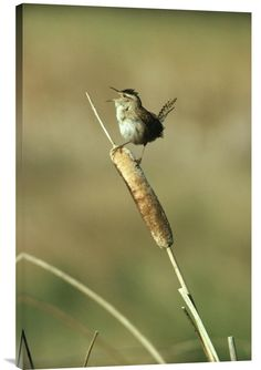 Marsh Wren Singing While Perching on a Common Cattail, Alberta, Canada http://www.explosionluck.com/products/marsh-wren-singing-while-perching-on-a-common-cattail-alberta-canada