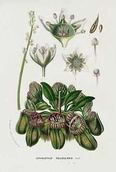 1845 Lemaire, Van Houtte Flore des Serres, 1st Edition Antique Botanical Prints
