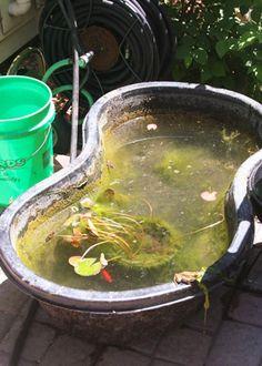 Mastering String Algae in Five Steps - POND Trade Magazine Outdoor Fish Ponds, Fish Ponds Backyard, Koi Fish Pond, Backyard Ideas, Pond Algae, Pond Plants, Garden Water Fountains, Water Gardens, Diy Pond
