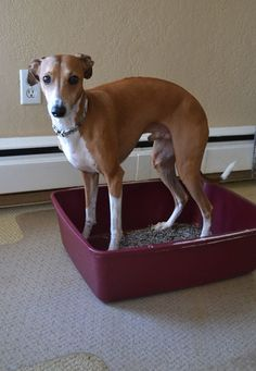 How to Train Your Dog to Use a Litter Box | Dogster