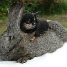 flemish giant rabbit and dog - photo #7