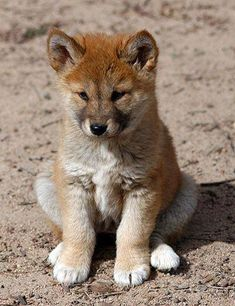 "jjones186: "" Dingo Puppy The dingo (Canis lupus dingo) is a free-roaming dog mainly found on the continent of Australia. It is a subspecies of the gray wolf, Canis lupus. (via 100% Animal) """