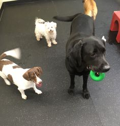 Having fun with the little guys♥️ #DogFriends #DogGames #DoggieDaycare #LabLove