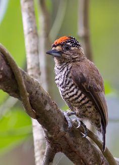 Foto pica-pau-anão-barrado (Picumnus cirratus) por Marco Cruz (Taubaté)