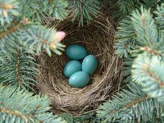 Spring Robin Egg Nest