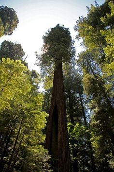 Rainforest Trees | Redwood Trees - been there too