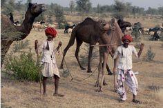 Foire de Pushkar, la plus grande foire au bétail du Rajasthan #inde #festival
