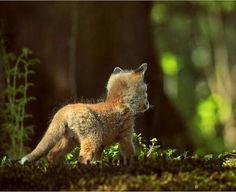 Red Fox Cub photo by Hubert Waizenegger