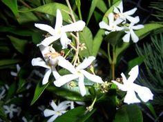 Tropicals - night blooming jasmine