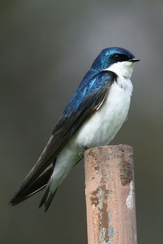 One of my favorite birds. Tree swallow. | Flickr: Intercambio de fotos