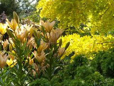 The soft tones of 'African Queen' lilies are all the more stunning set against the golden backdrop