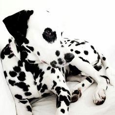 N'achetez pas, adoptez !  Do NOT buy, please ADOPT !  http://www.dalmatiensansfamille.fr