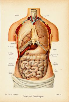 1911 Antique ANATOMY print Chest and by TwoCatsAntiquePrints, $34.00