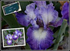 Iris Photo Collection