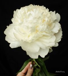 8 Best Bowl Of Cream Peonies Images Peonies Petals Bowl